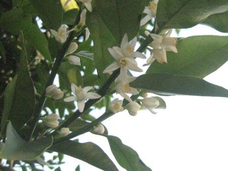 キンカンの花.jpg