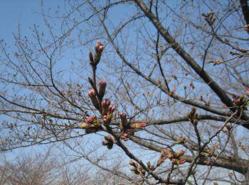 「桜」2011年3月29日.jpg
