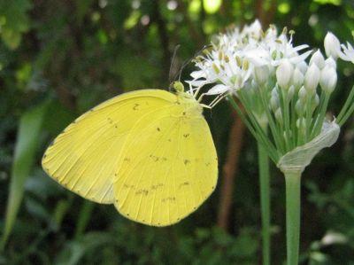 黄色い蝶.jpg